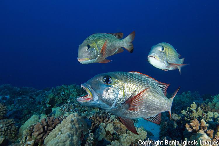 Bigeye emperor eating a molusk, reefs end 80 feet Molokini Maui Hawaii.