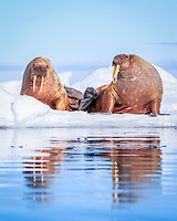 Atlantic walrus, Odobenus rosmarus rosmarus, resting on ice floe, Lagoya, Svalbard, Norway, Atlantic Ocean