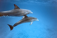 Bottlenose dolphins, Tursiops truncatus, mother and calf, Bahamas, Caribbean, Atlantic Ocean