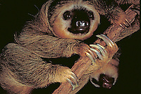 Close-up, clinging to a branch, Three-Toed Sloth. Wildlife.