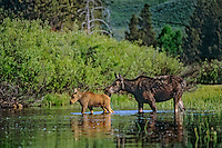 Cow and calf moose (Alces alces) wading in shallow pond..Western U.S., June.