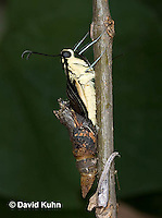 1020-0809  Giant Swallowtail Butterfly Emerging from Chrysalis (Life Cycle Series), Papilio cresphontes © David Kuhn/Dwight Kuhn Photography.
