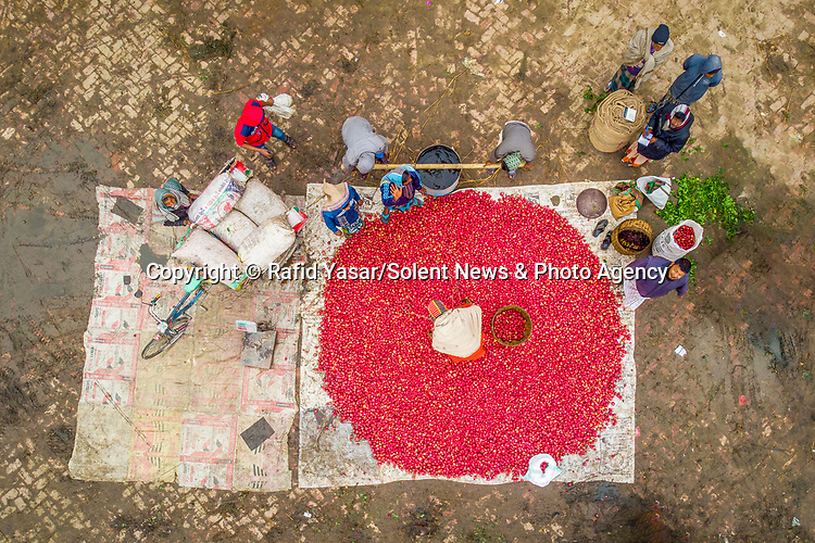 "Farmers work to collect tonnes of potatoes in the annual harvest in Joypurhat, Bangladesh.<br /> <br /> The images were taken by Rafid Yasar, a student from Bogura.<br /> <br /> Rafid said, ""There is about 500 metric tonnes of potatoes on this farm.  They are exported abroad as well as nationwide.  The farmers don't earn very much for their work despite this - as little as 10 pence per kilogram.""<br /> <br /> ""Over the winter, this area exports the largest amount of potatoes across the country.""<br /> <br /> Please byline: Rafid Yasar/Solent News<br /> <br /> © Rafid Yasar/Solent News & Photo Agency<br /> UK +44 (0) 2380 458800"