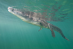 Gardens of the Queen, Cuba; an American Crocodile (Crocodylus acutus) floating at the water's surface