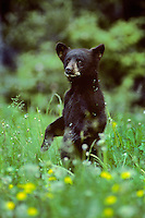 Very young black bear cub standing in meadow covered with dandelion flowers. Northern Rockies.  Early June.
