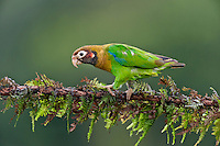 Brown-hooded Parrot (Pyrilia haematotis).  Found from S.E. Mexico to N.W. Colombia.  Photo taken in Costa Rican lowland rainforest.