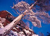 Red Pine (Pinus resinosa) covered in snow near a granite cliff in Michigan's Upper Peninsula.