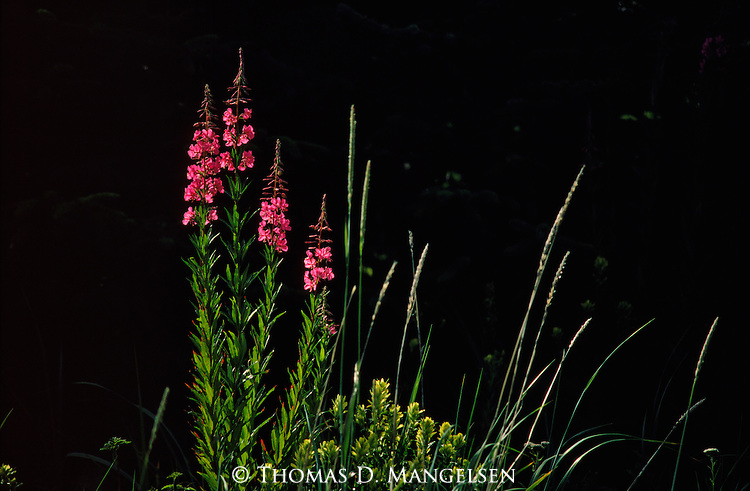 A blooming cluster of fireweed plant stand out from a shadowy background.