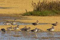 Ducks (mostly young northern pintails) feeding along edge of pond.  Western U.S., fall.