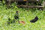 Tetepare Island, Solomon Islands; a juvenile Australasian swamphen (Porphyrio melanotus) flaps it's wings while an adult picks up twigs and forages for food