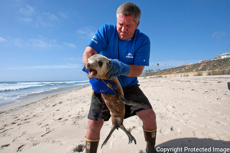SeaWorld senior animal care specialist Mark Bressler rescues a sea lion off the beach in Carlsbad in March, 2013. photo for U-T San Diego