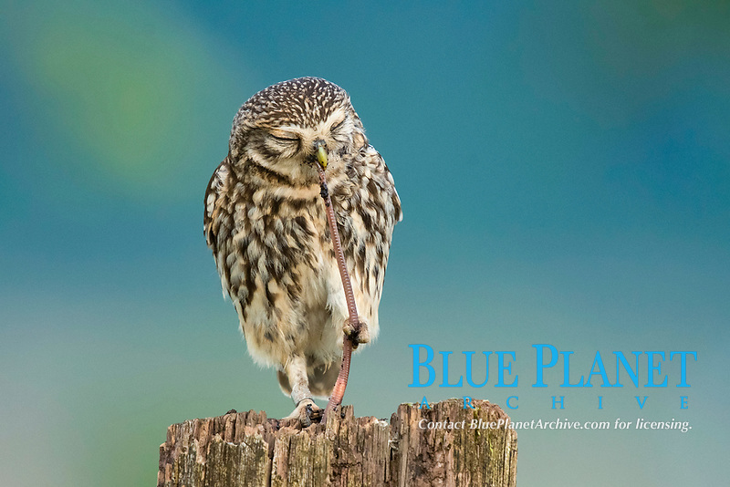 Little owl (Athene noctua) sits on tree stump, eats worm as prey, Rhineland-Palatinate, Germany, Europe
