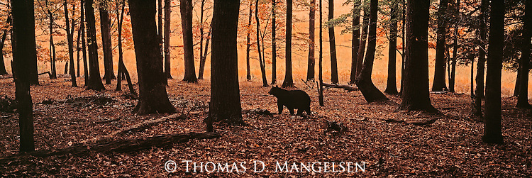 A black bear, silhouetted in the dimly lit forest, walks across the autumn leaves carpeting the ground in Great Smoky Mountains National Park, Tennessee.