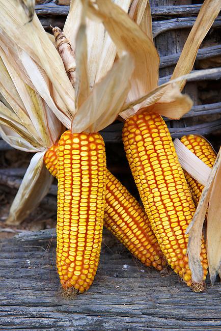Corn, maize,  cobs drying - Hungary