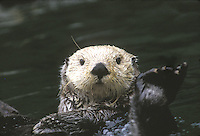 Sea Otter waves in greeting