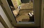 STOP BADGERING ME -  Badger looks in through backdoor by Phil Booker