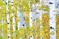Aspens trunks and fall colored leaves. Grand Teton National Park, WY.