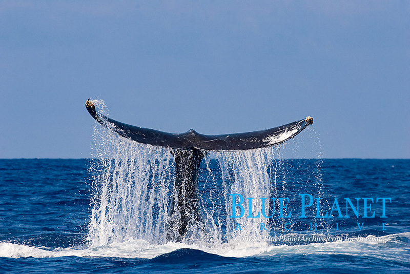 humpback whale, Megaptera novaeangliae, with water streaming off tail flukes as whale slaps water with tail, Kona, Hawaii (Central Pacific Ocean); caption must include notice that photo was taken under NMFS research permit #587