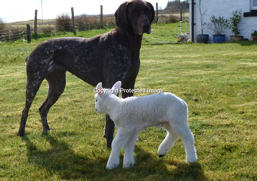 """03/05/16 <br /> <br /> ***BEST QUALITY PHOTO AVAILABLE***<br /> <br /> A newborn lamb, abandoned by its mother and close to death, has been nursed back to life by an unusual carer – a German shorthaired pointer dog.<br /> <br /> Full story here: <br /> <br /> http://www.fstoppress.com/articles/dog_adopts_lamb/<br /> <br /> .And the now the unlikely couple are best friends and go everywhere together, including sleeping in the same bed.<br /> <br /> But it could have been a very different ending as the lamb was born a week ago, on one of the coldest days this year with torrential snow, hail and rain, on the Isle of Skye in Scotland.<br /> <br /> The dog's owner, Lee Mather explained: """"I was keeping an eye on my neighbour's sheep while they were lambing.<br /> <br /> """"I have no sheep myself and know nothing about lambing.<br /> <br /> """"The lamb was one of twins and initially both were fine, but when checking on them shortly after, this little lamb hadn't been cleaned up by his mother, and was completely still and freezing cold.<br /> <br /> """"He had very little life left.<br /> <br /> """"I took him indoors not really expecting much, but as soon as I took him in, Jess my three-year-old German shorthaired pointer instantly took to him, cleaning him up and keeping him warm.<br /> <br /> All Rights Reserved: F Stop Press Ltd. +44(0)1335 418365   +44 (0)7765 242650 www.fstoppress.com"""