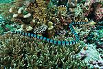 Serua Island, Banda Sea, Indonesia; a yellow lipped sea snake swimming over the coral reef in search of food