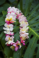 Pink and white plumeria lei on a green leaf