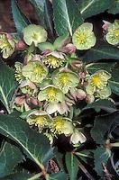 Helleborus x sternii 'Boughton<br /> Beauty'