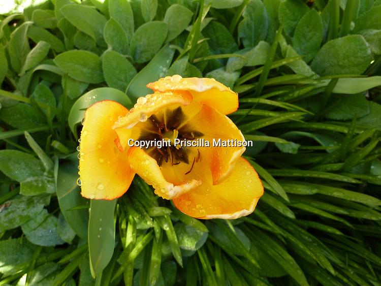 Closeup of a yellow tulip
