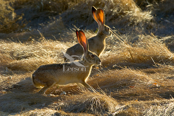 Black-tailed Jackrabbits (Lepus californicus).   Western U.S., Fall.