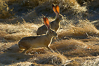 Black-tailed Jackrabbits (Lepus californicus).   Western U.S., Fall.