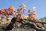 Spain, Canary Islands, La Palma, grape-vine