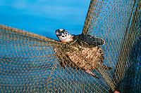 A Juvenile Hawksbill Turtle, Eretmochelys imbricata, caught in a fishing net, Eilat, Israel, Red Sea