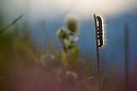 Caterpillar of Malacosoma alpicola, backlit at sunrise in alpine meadow. Nordtirol, Austrian Alps. June.