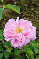 Rosa 'Christine Wright'