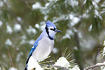 Blue jay perched in a pine tree in northern Wisconsin.