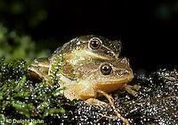 FR16-053z  Spring Peeper Tree Frog - mating -  Pseudacris crucifer, formerly Hyla crucifer