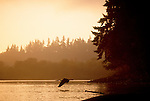 Great Blue Heron, Columbia River, Lewis River, confluence, Washington State, Pacific Northwest, USA,.