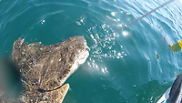 BNPS.co.uk (01202 558833)<br /> Pic: GarryWillis/BNPS<br /> <br /> WITH VIDEO... https://we.tl/t-Rk8YcEbLzW<br /> <br /> Pictured: Garry Willis catching the angel shark.<br /> <br /> A British angler has caught one of the planet's most endangered species of shark while kayak fishing off the Welsh coast.<br /> <br /> Garry Willis, 48, reeled in a rare angel shark by mistake as he was fishing for tope half-a-mile out to sea.<br /> <br /> Angel sharks are classed as critically endangered by the International Union for Conservation of Nature (IUCN) Red List and are extinct in the North Sea.