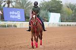 RIYADH, SA February 19 2021: MATERA SKY (USA) Track work from King Abddulaziz Racetrack, Riyadh, Saudi Arabia. Shamela Hanley/Eclipse Sportswire/CSM