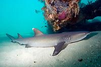 Whitetip reef shark, Triaenodon obesus, resting by day under the Exmouth Navy Pier, Western Australia, Indian Ocean