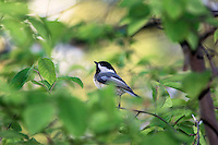Black-capped Chickadee (Parus atricapillus). Spring. Great Lakes Region. Ontario, Canada.
