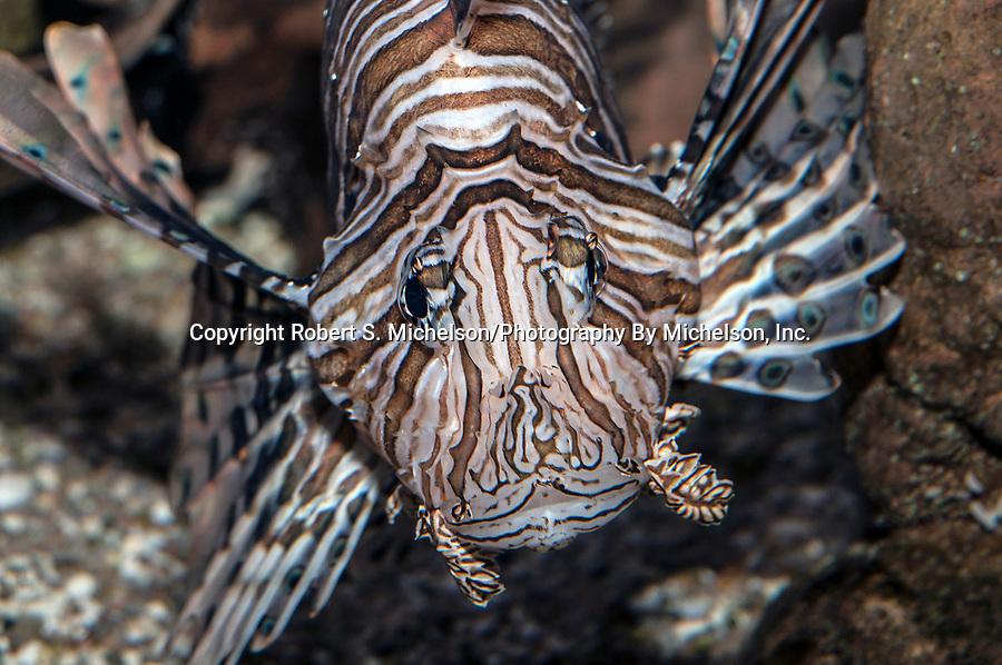 Red Lionfish facing camera medium shot