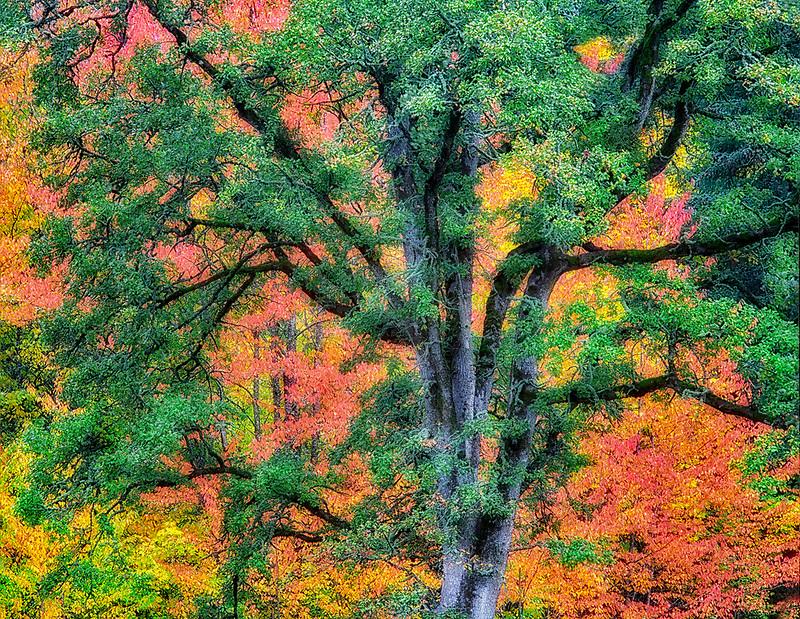 Oregon White Oak with fall colored background. Near Scio, Oregon
