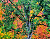 Oregon White Oak with fall colored background. Near Scio, Oregon