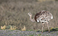 The largest bird in Patagonia is the flightless Darwin's rhea.