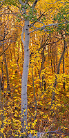 The glow of fall foliage in soft light in East Glacier Park.