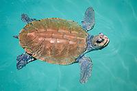 Kemp's ridley sea turtle, Lepidochelys kempii, breathing, critically endangered species, Mexico, Gulf of Mexico, Caribbean Sea, Atlantic Ocean (c)