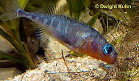 1S57-560z  Threespine Stickleback, gravid female inside male's nest, male prods near her tail fin to stimulate egg laying, Gasterosteus aculeatus