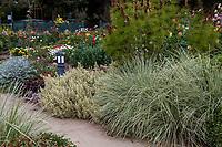 Lomandra longifolia 'Platinum Beauty' (Variegated Dwarf Mat Rush) with Lavandula allardii 'Meerlo' in foliage garden; Gamble Garden, Palo Alto, California