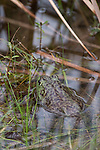 Brazoria County, Damon, Texas; a large American Bullfrog (Rana catesbeiana) sitting in shallow water at the edge of the slough