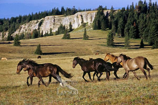 Wild Horses run/gallop across subalpine meadow, Western U.S., late summer..(Equus caballus)